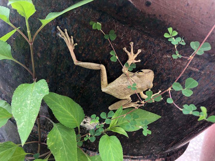 Lucky Frog - Rock Csilla
