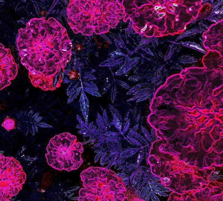 Calendulas in Pink - maree jolleau design