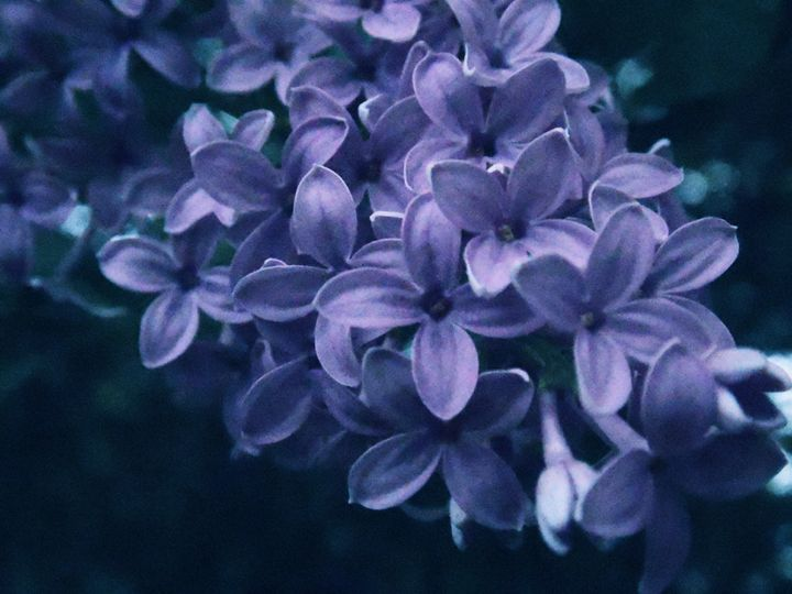 lilac - Devils Angel Photography