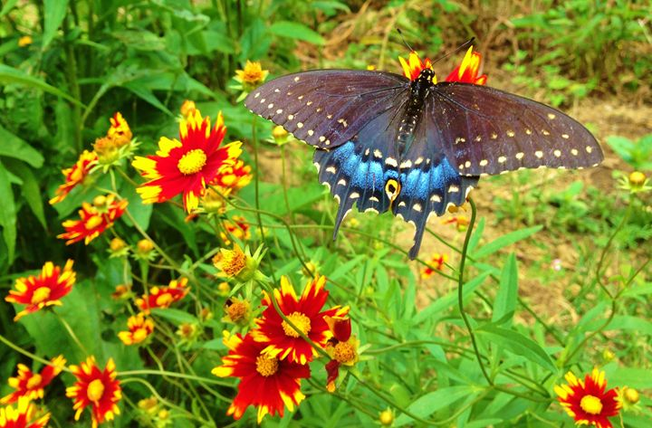 Female Black Swallowtail - Stray the path