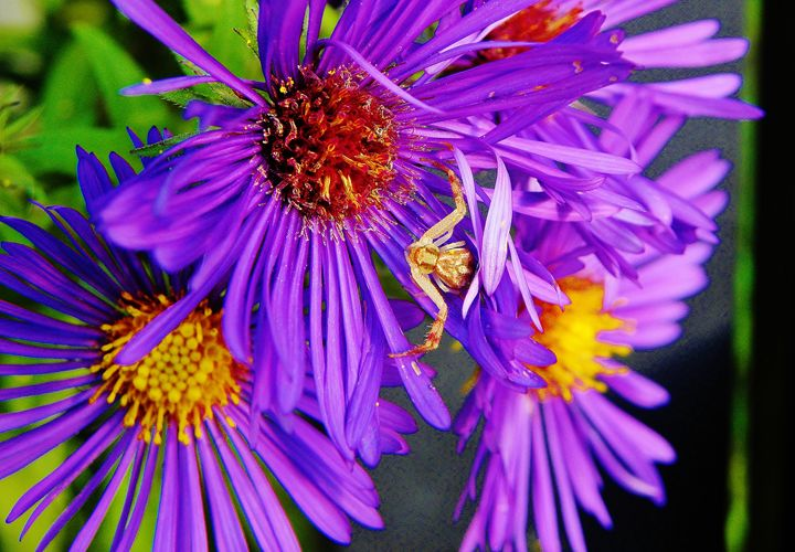 Crab Spider crouching in the Asters - Stray the path