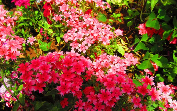 Red and Pink Flowers - Indiartica