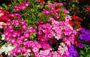 Pinky Violets
