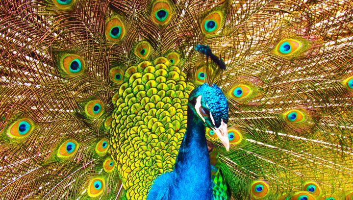 Peacock Glory - SLM Designs