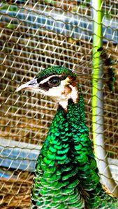 Peacock gazing
