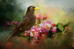 Blackbird with Apple Blossom
