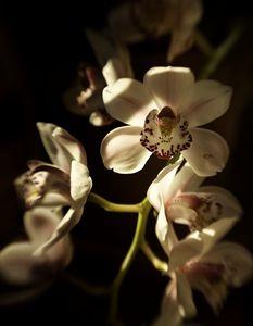 Cymbidium Orchid Macro