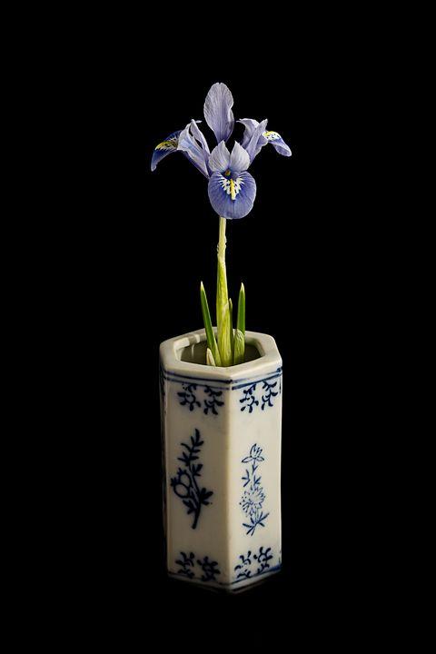 """Iris reticulata - """"Alida"""" - Rosewood Photographics"""
