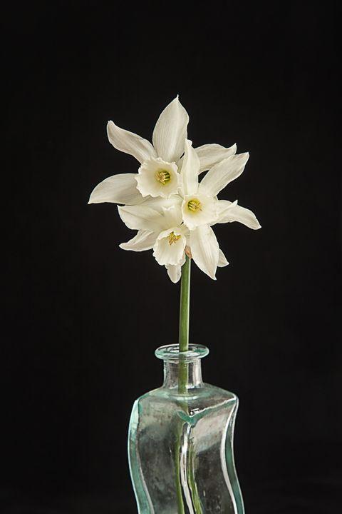 White Narcissus on Black Background - Rosewood Photographics