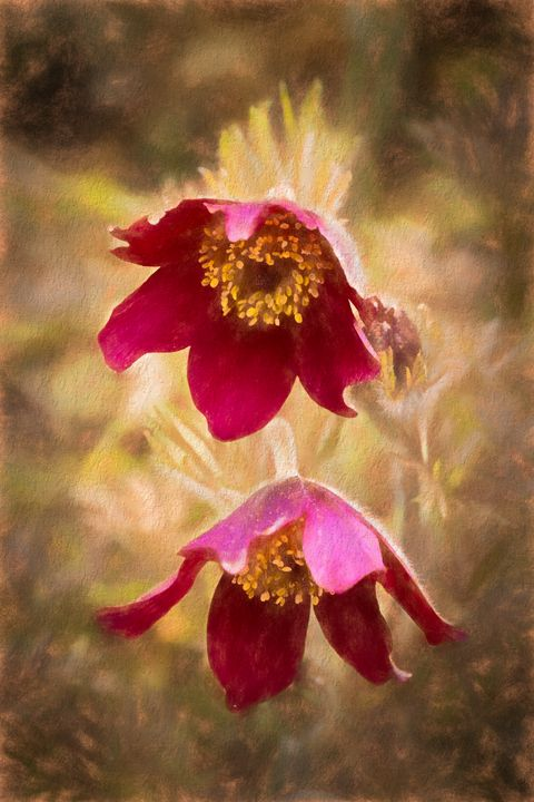 Pasque Flowers - Rosewood Photographics
