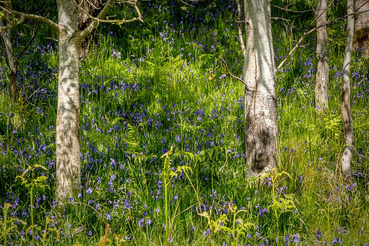 Bluebells and Birch Trees - Rosewood Photographics