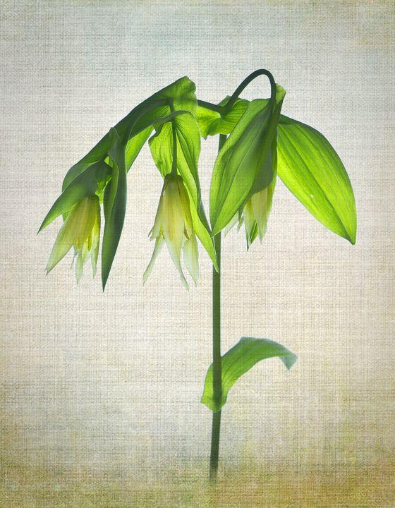 Uvularia - Rosewood Photographics