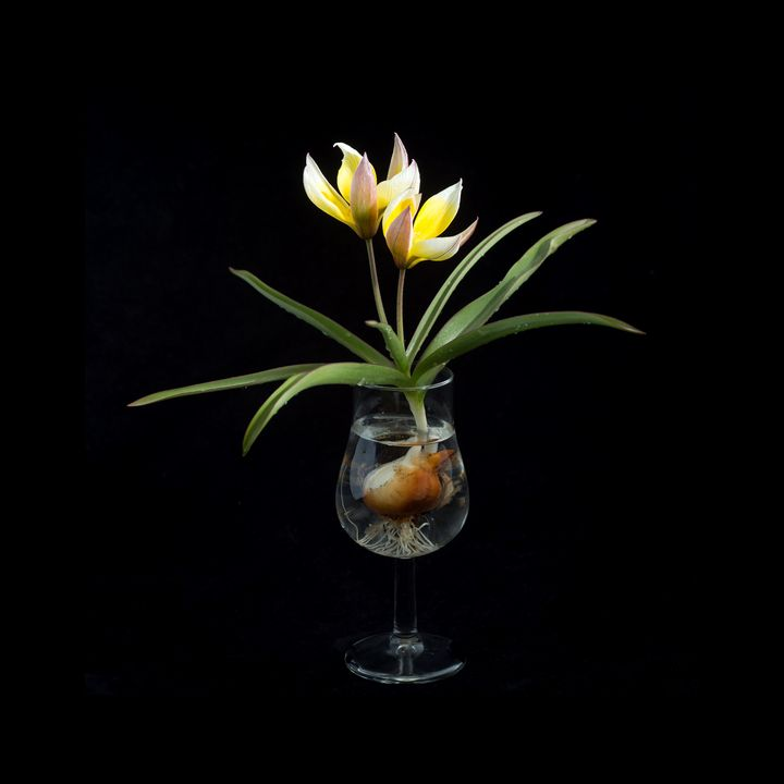 Tulip in a Tulip-shaped Glass - Rosewood Photographics