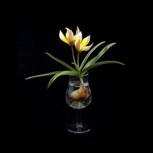 Tulip in a Tulip-shaped Glass