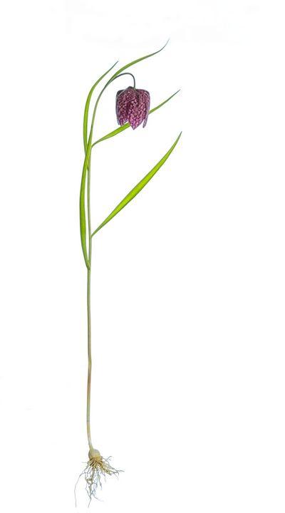 Botanical Photograph of Fritillaria - Rosewood Photographics