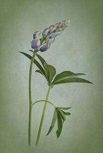 Lupine on green texture