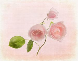 "Pink Rose ""New Dawn"""