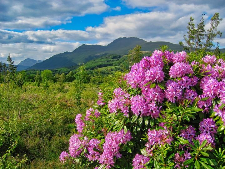 Rhododendrons on West Highland Way - Rosewood Photographics