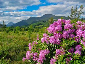 Rhododendrons on West Highland Way