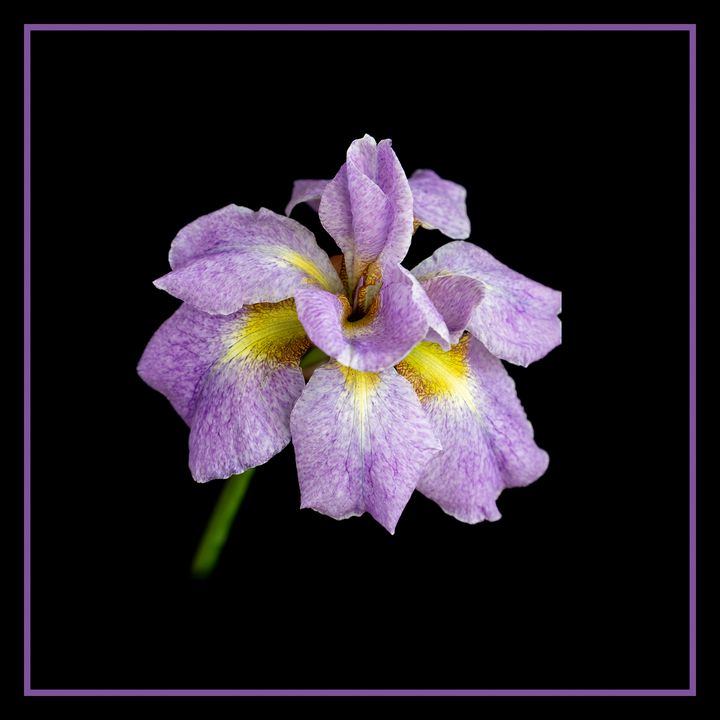 Iris on Black - Rosewood Photographics