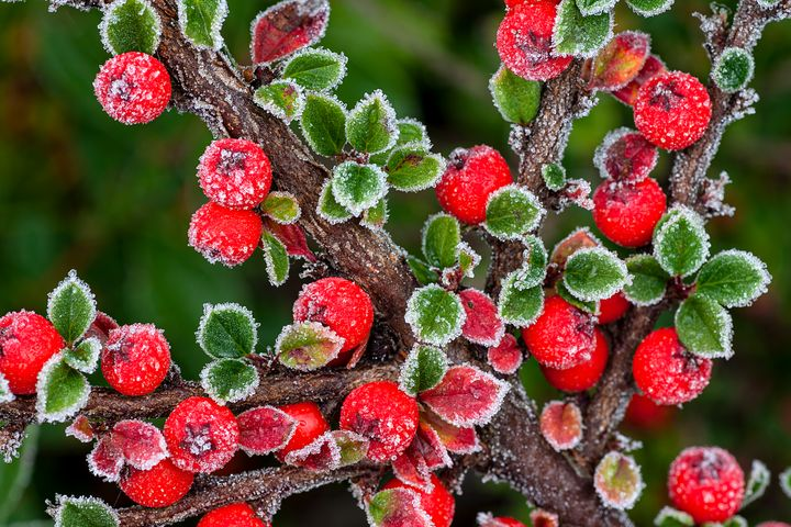 Frosted Berries - Rosewood Photographics