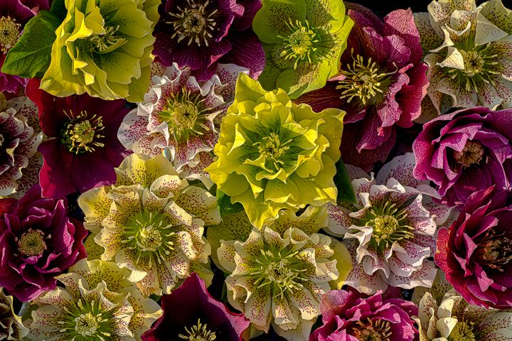 Hellebore Flowers - Rosewood Photographics