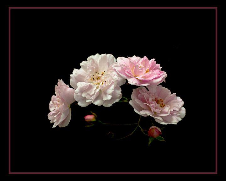 Paul's Himalayan Musk Rose - Rosewood Photographics