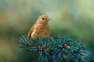 Young Robin on Pine Tree