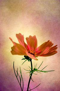 Cosmos - Flower of Love
