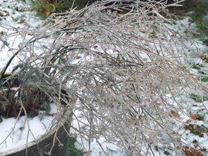 Frozen Licorice