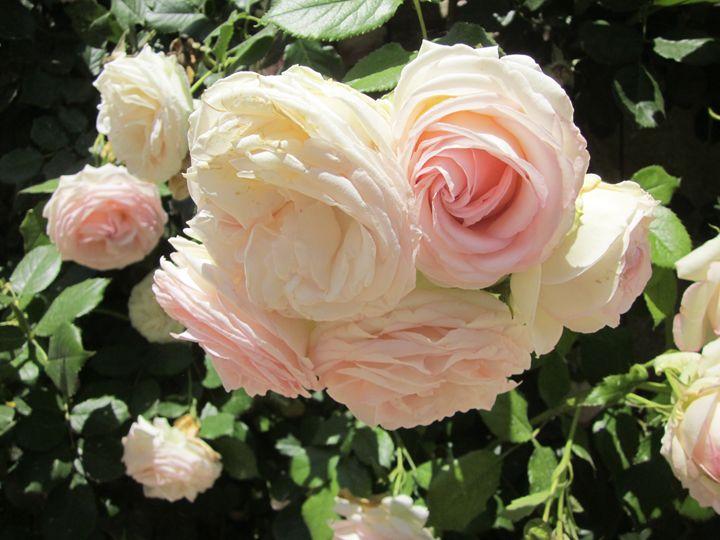 Roses II - Forever Lynx