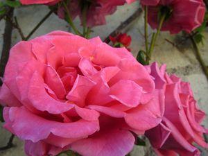 Roses III
