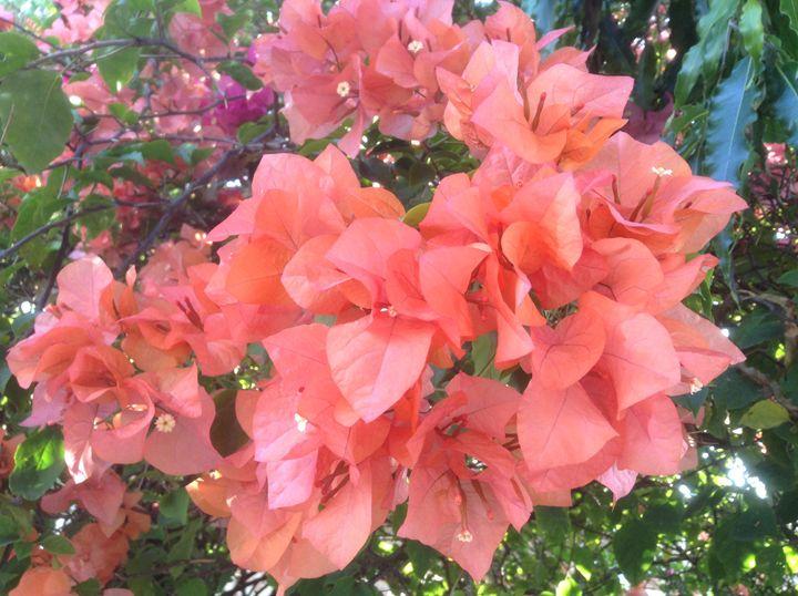 Bougainvillea - I am Noona