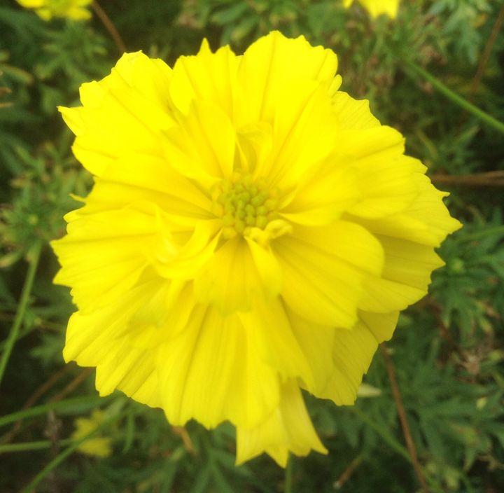 Yellow coreopsis - I am Noona