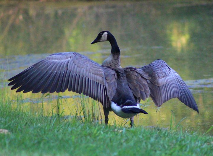 Wing Span - Nature and Wildlife Art