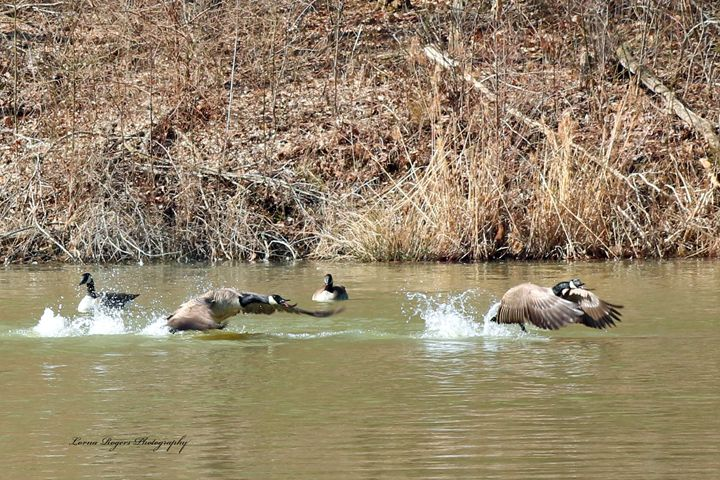 Wild Goose Chase - Nature and Wildlife Art