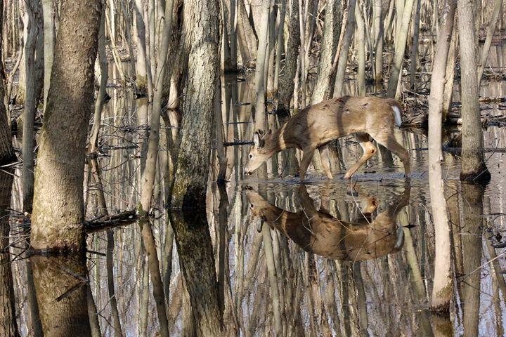 Thirsty Pause - Nature and Wildlife Art
