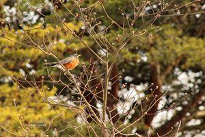 Sunlight on Robin