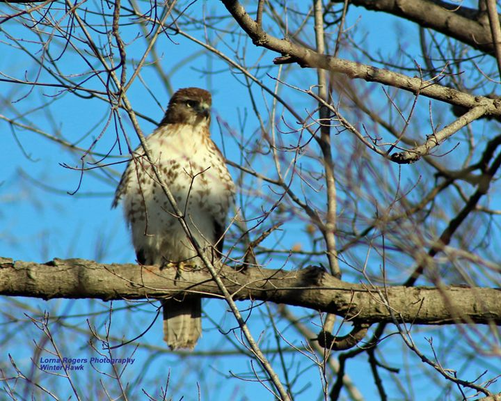 Winter Hawk - Nature and Wildlife Art