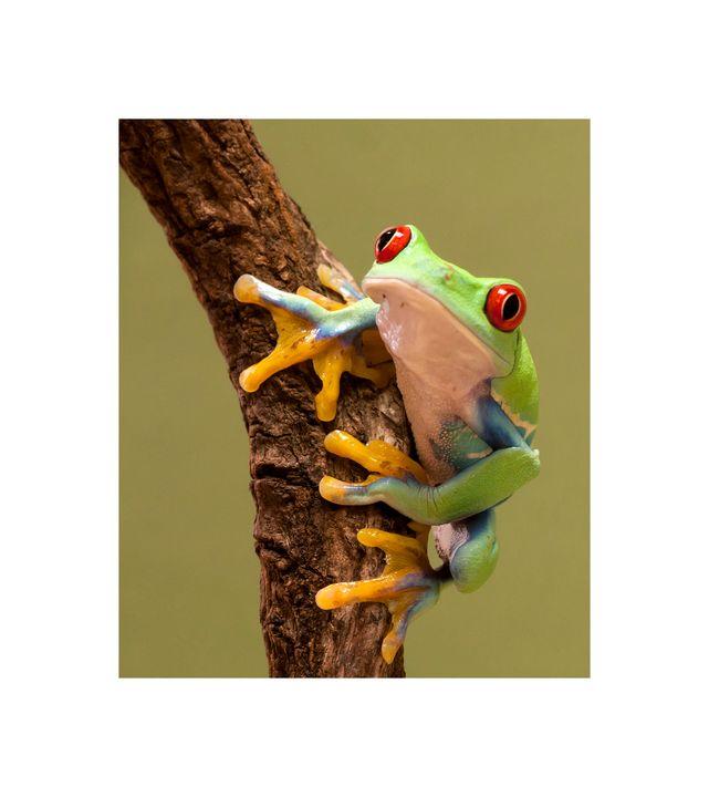 Red Eyed Tree Frog 2 - jennialexander