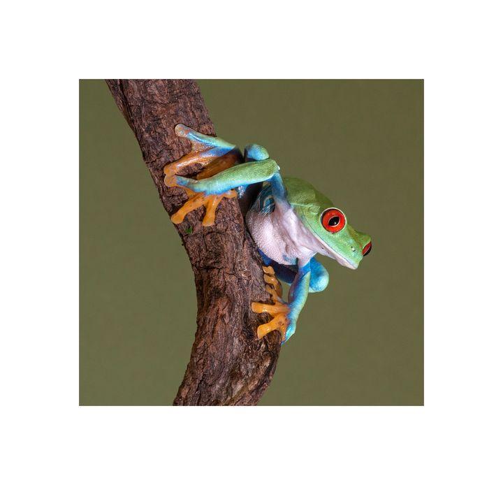 Red Eyed Tree Frog 3 - jennialexander