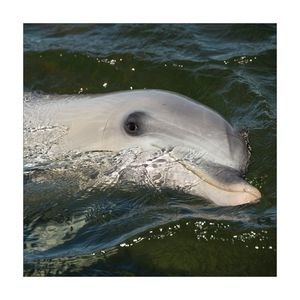 Dolphin in the Lagoon in Whyalla