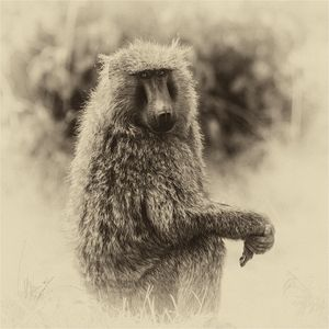 Baboon with Attitude