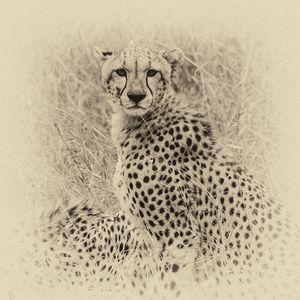 Cheetah sepia fine art print