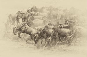 Wilderbeast crossing The Mara River