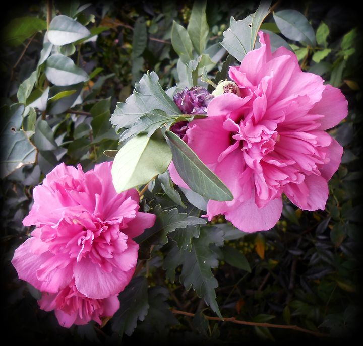 Two Rose of Sharon - WhiteOaks Photography and Artwork, LLC