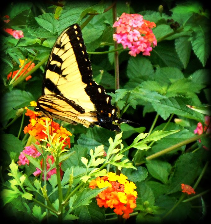 Butterfly Weed and Swallowtail - WhiteOaks Photography and Artwork, LLC