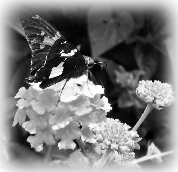 Black and White Butterfly - WhiteOaks Photography and Artwork, LLC