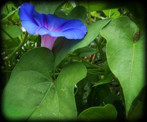 Morning Glory Nestled in Leaves
