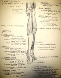 Right Lower Leg (Musculature) - K Bass Art